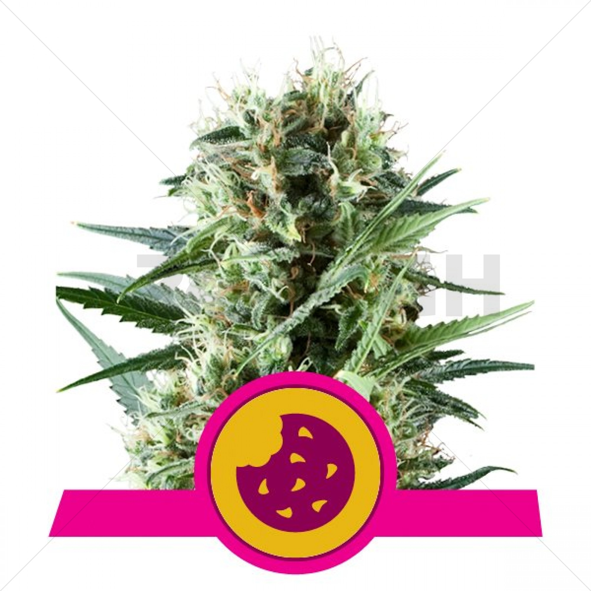 Royal Cookies ( Royal Queen Seeds ) Feminized