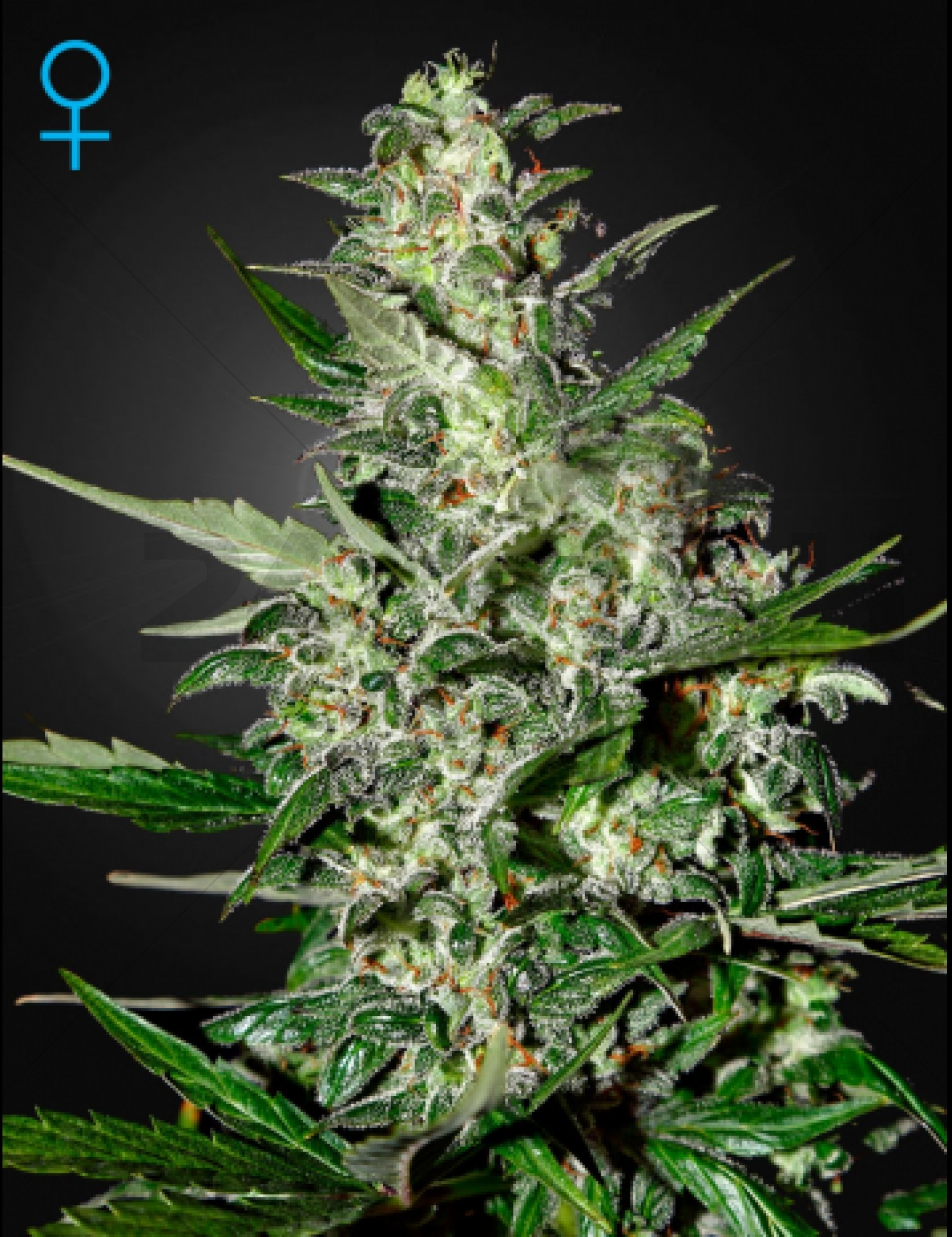 Super Critical (GreenHouse Seeds) Autoflowering