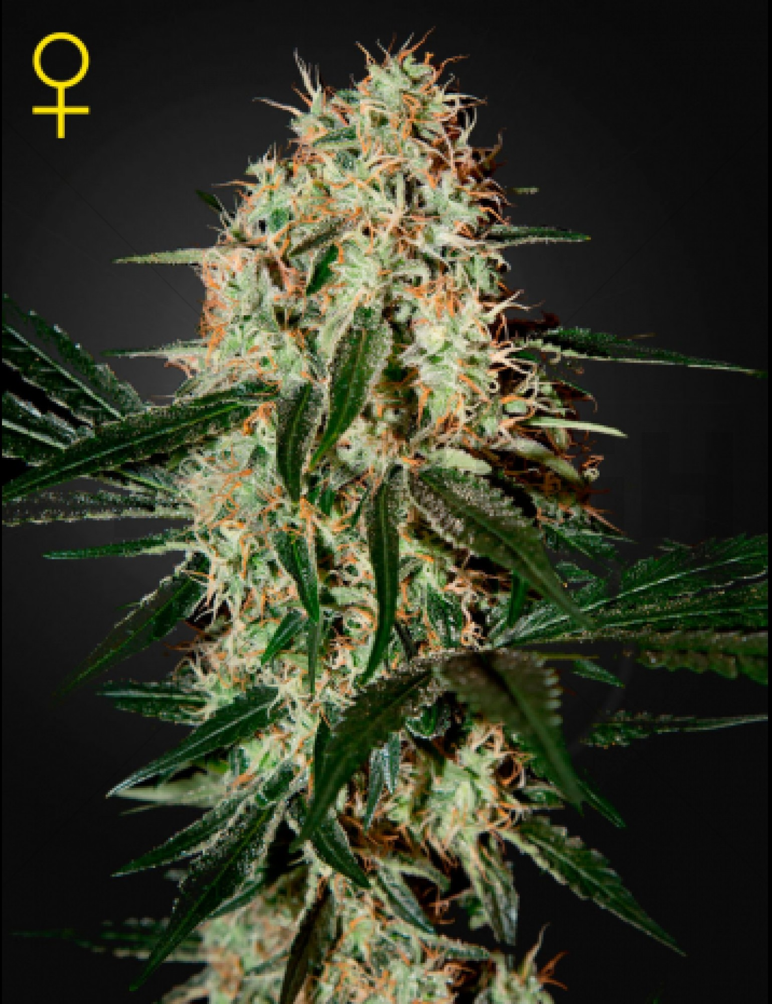 Arjan's Haze 3 Feminised (Green House Seeds)