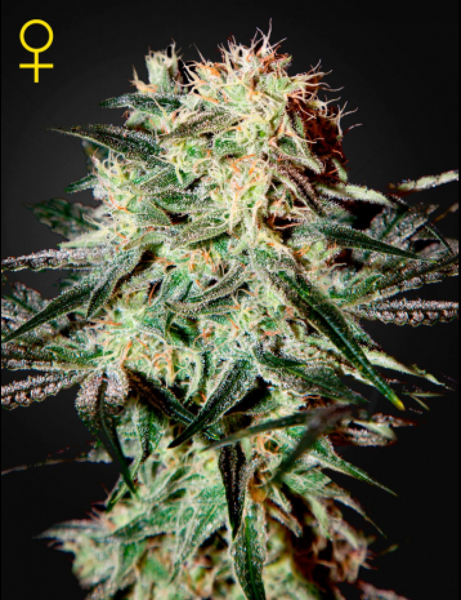 Arjan's Strawberry Haze Feminised (Green House Seeds)