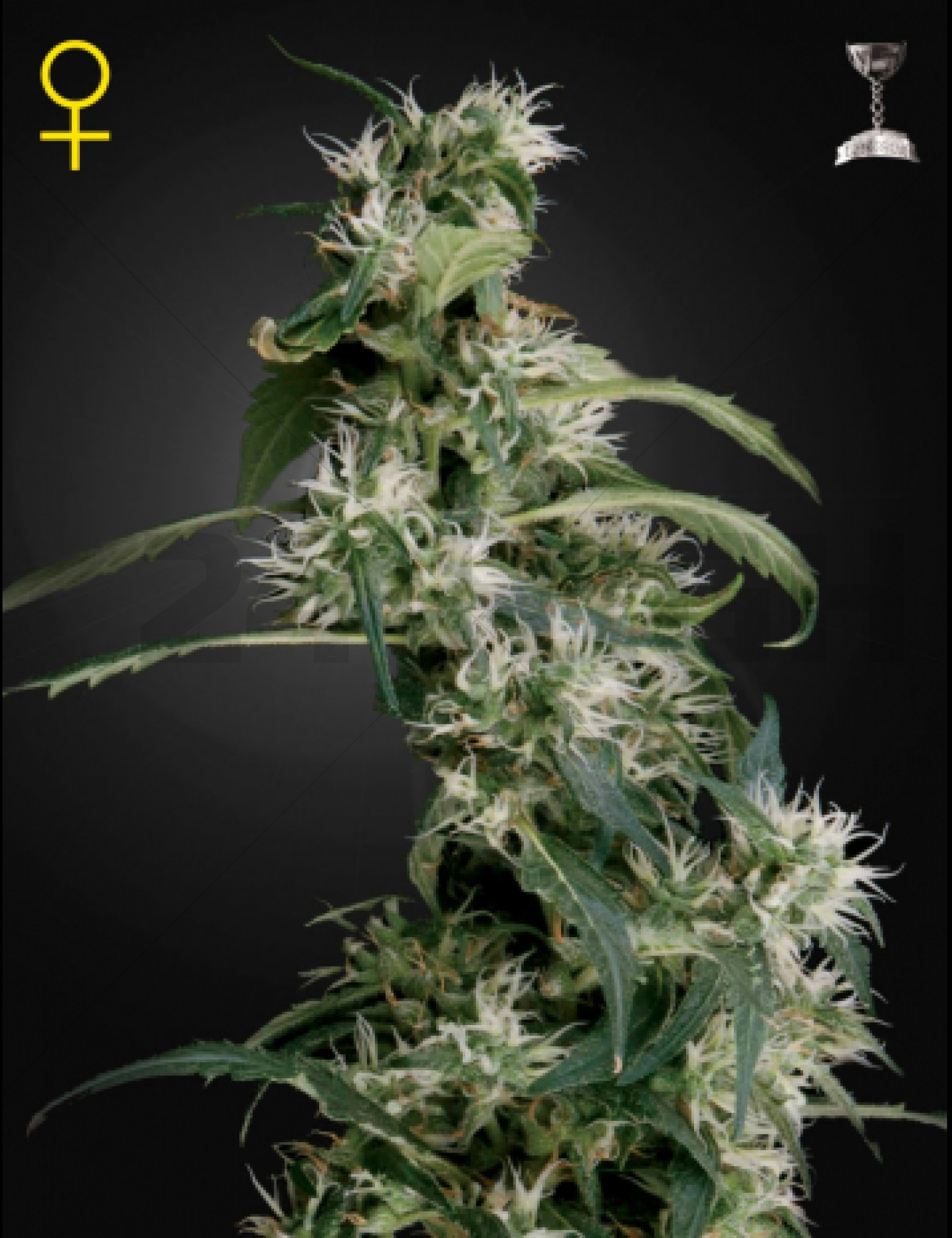 Arjan's Ultra Haze 2 Feminised (Green House Seeds)