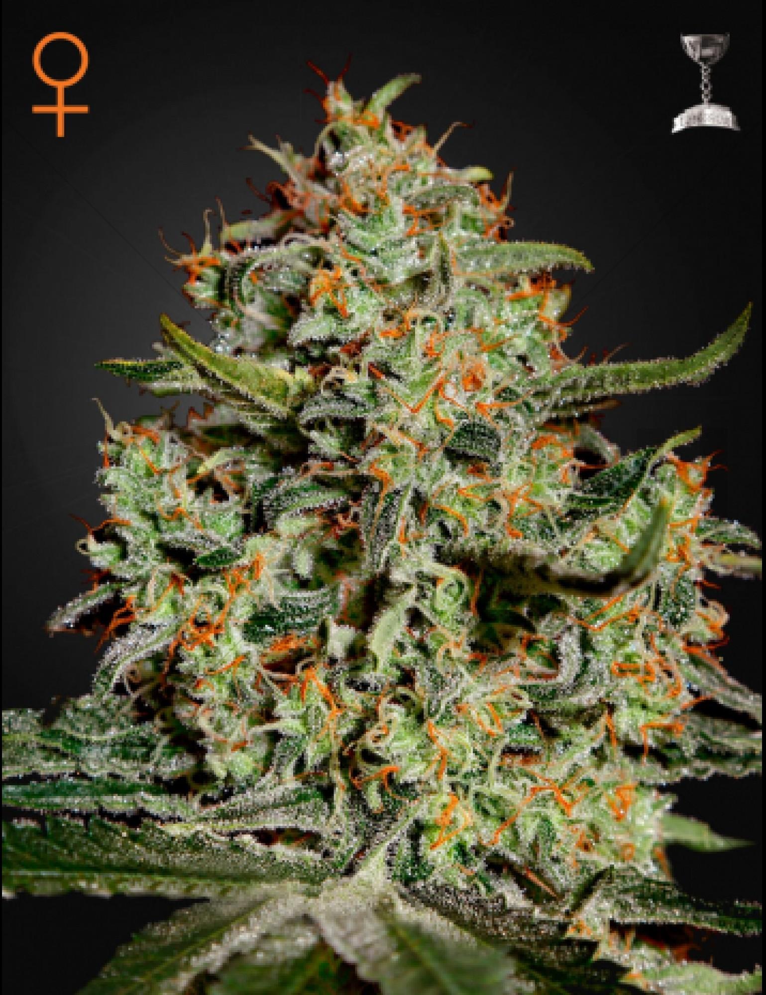 Big Bang Feminizada (Green House Seeds)