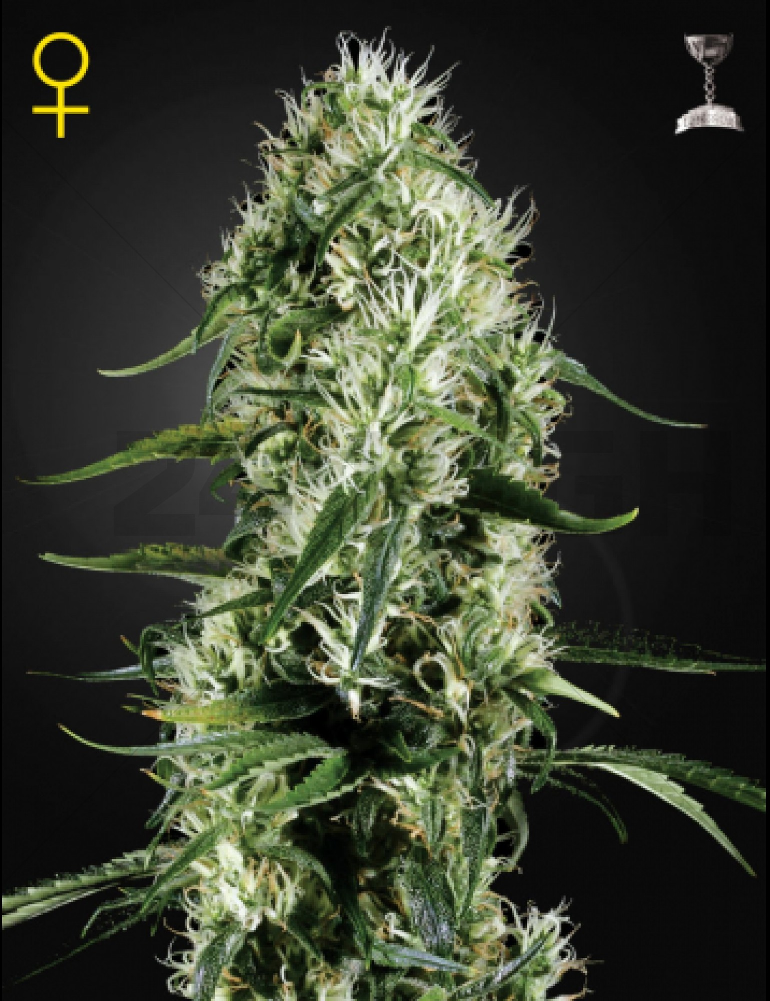 Super Silver Haze Feminised (Green House Seeds)