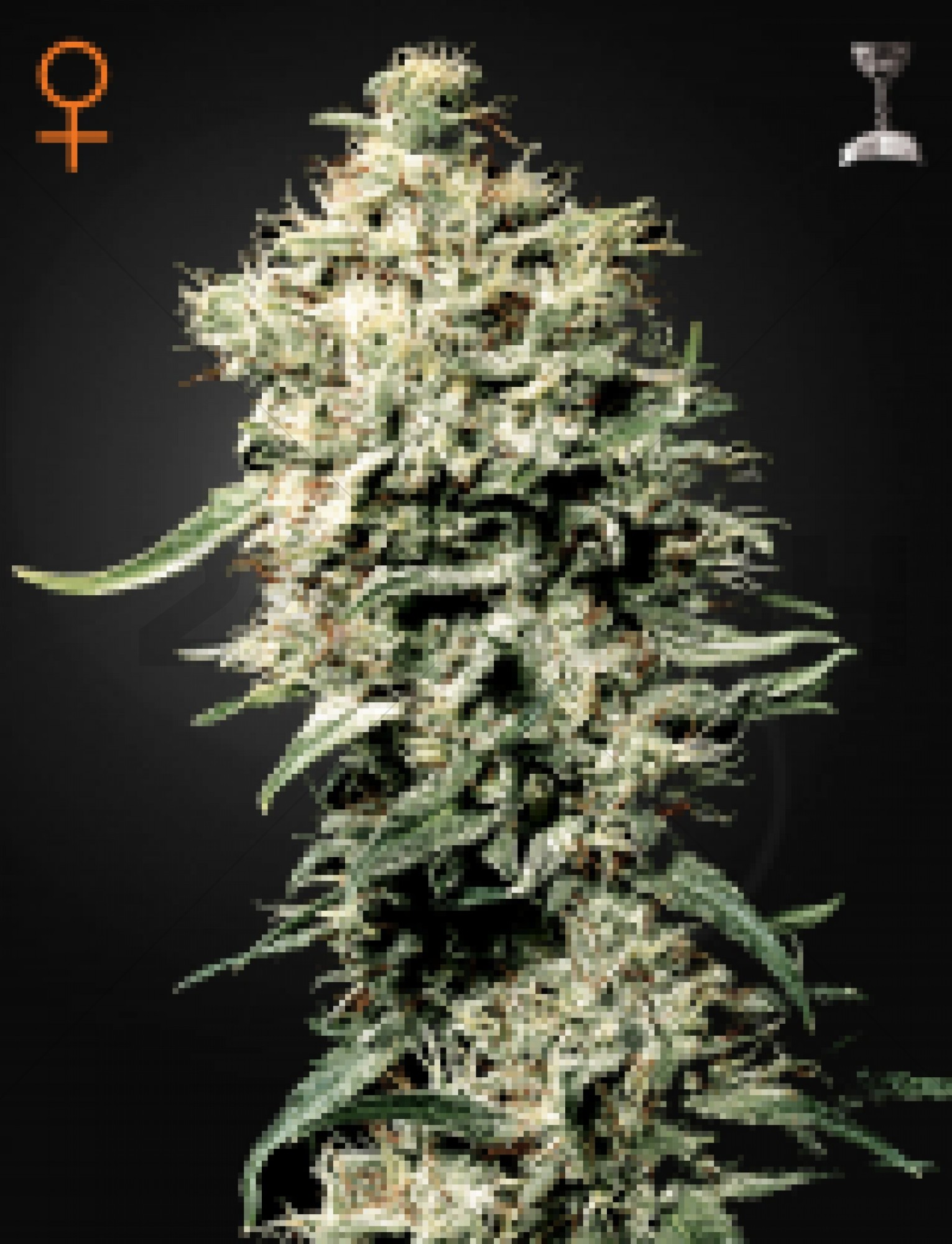 White Rhino Feminised (GreenHouse Seeds)