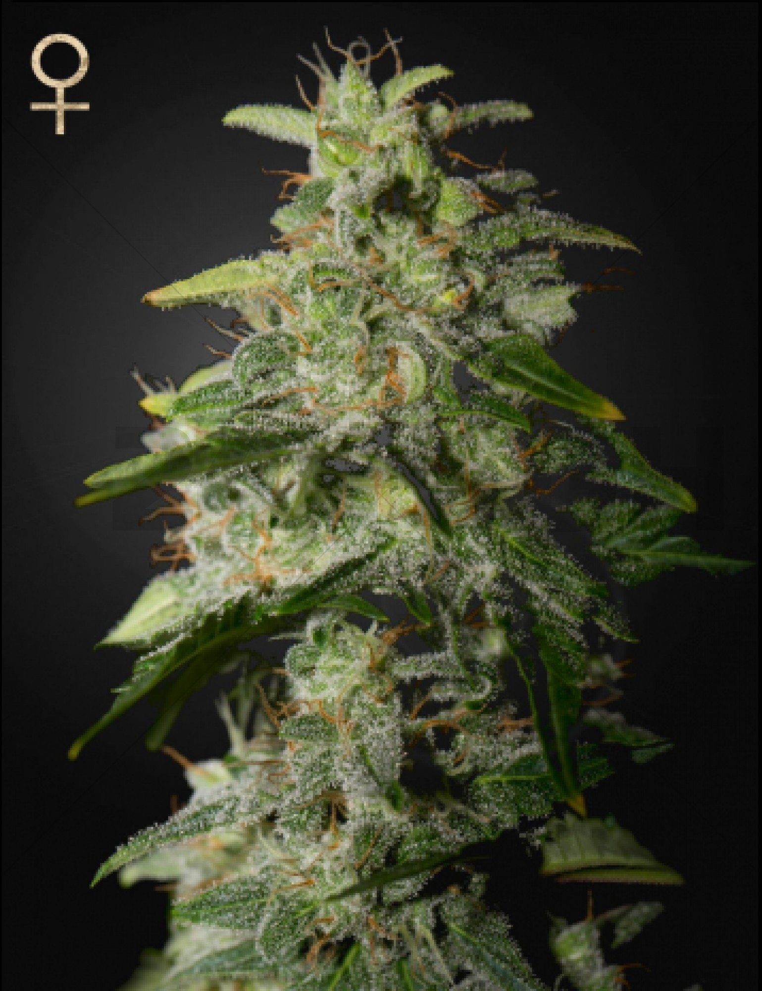 Money Maker<br>(Strain Hunters Seed Bank)
