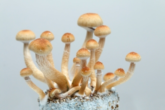 WHAT TYPES OF SUBSTRATE ARE THERE FOR GROWING MAGIC MUSHROOMS